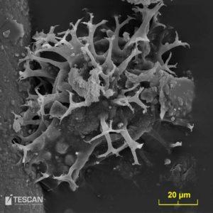 Obrněnky – Dynoflagelata