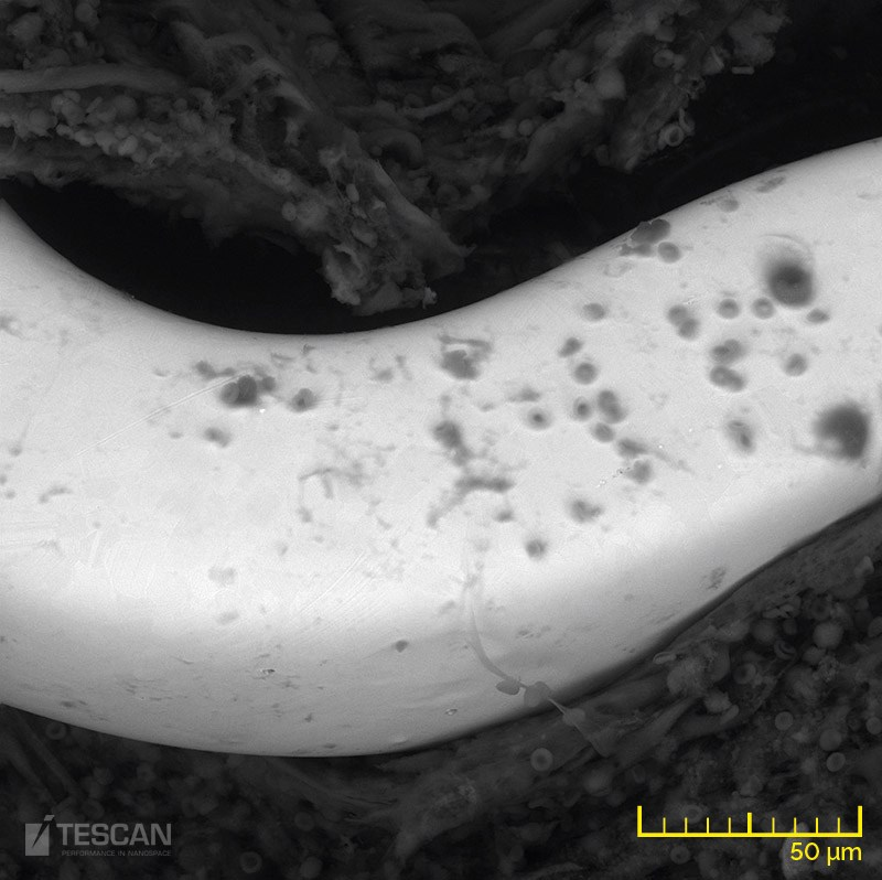 A piece of cardiac tissue with an implanted cardiovascular stent - BSE detector